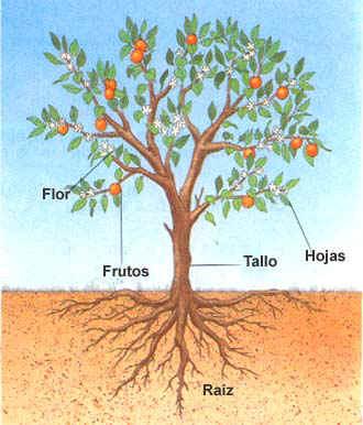 Partes de las plantas for Un arbol con todas sus partes