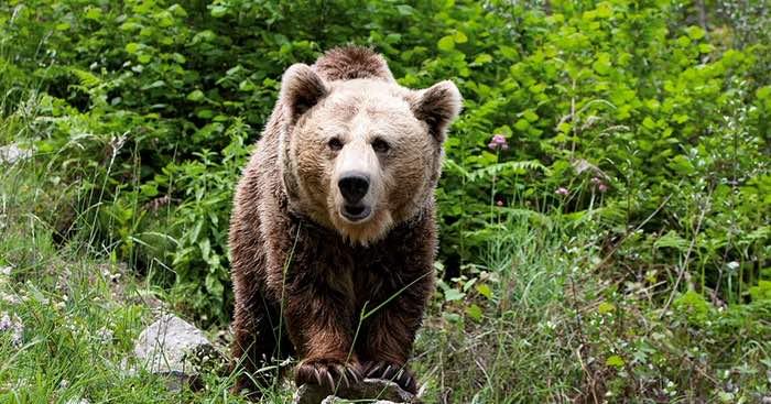 Oso pardo: Características, alimentación y costumbres | Fauna