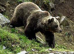 Oso Pardo Características Alimentación Y Costumbres Fauna